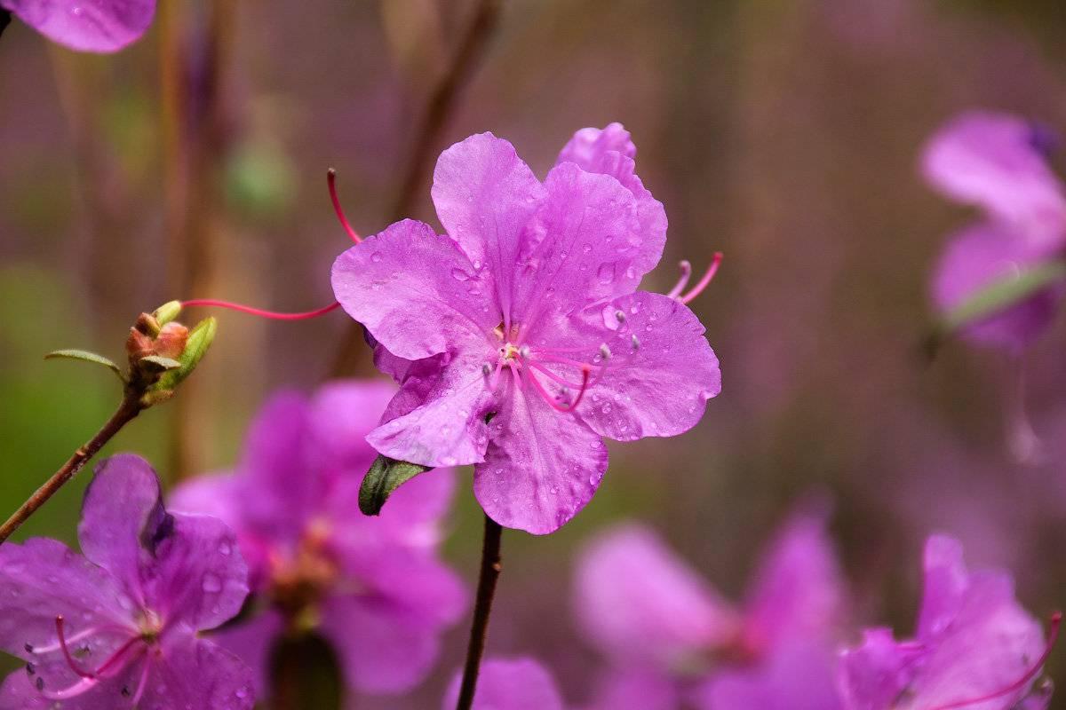 Особенности посадки рододендрона катевбинского грандифлорума и требования по уходу за ним