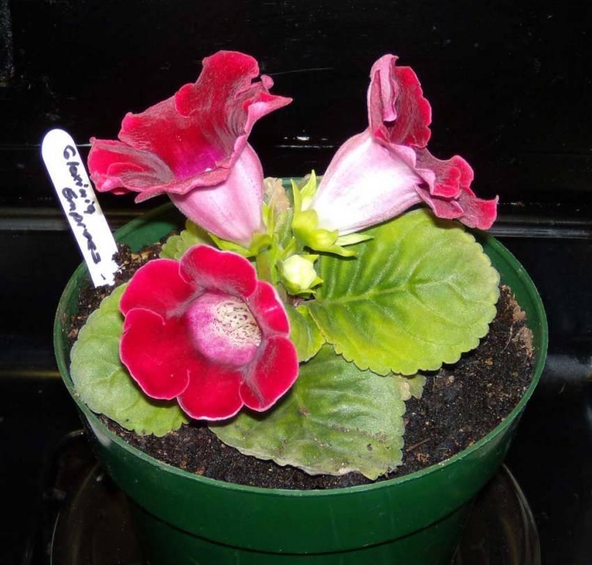 Полив глоксиний (синнингия) и другой уход за комнатным цветком: как правильно ухаживать за растением осенью и зимой в домашних условиях?