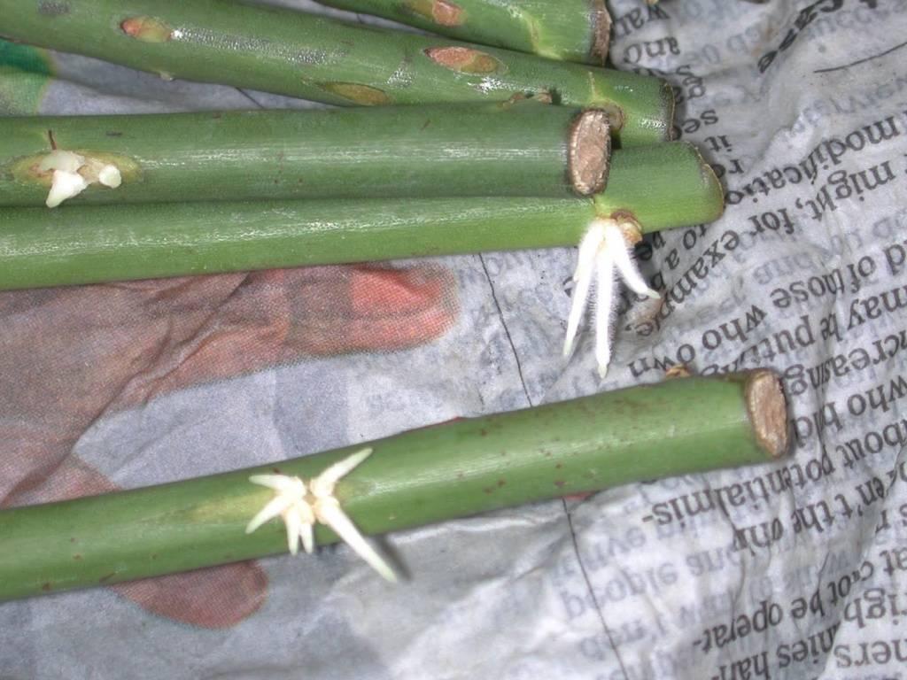 Размножение роз методом бурито: плюсы и минусы необычного способа черенкования, проведение процедуры зимой и осенью, а также как происходит укоренение в газете?