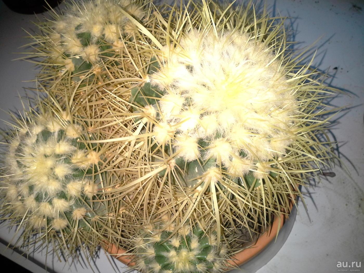 Эхинокактус: фото и виды, выращивание и уход за кактусом