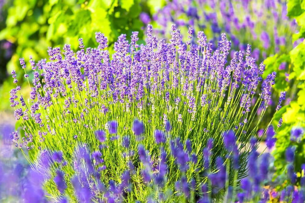 Период цветения лилейников, в каком месяце: правила ухода в этот период