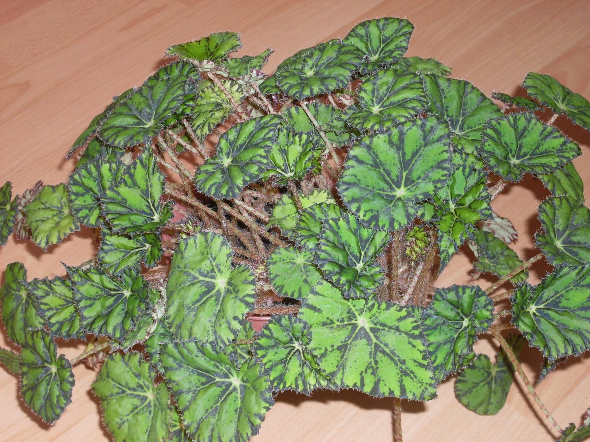 Декоративно-лиственная бегония: уход в домашних условиях с фото