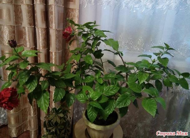 Китайская роза - гибискус уход в домашних условиях, размножение