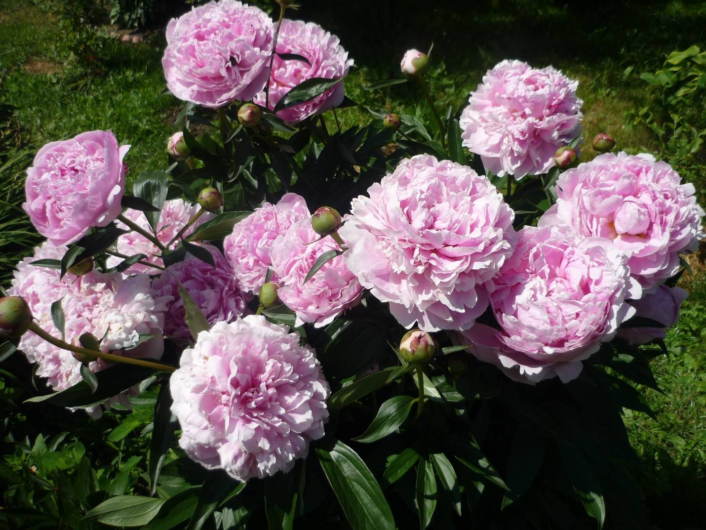 Пион ред чарм (paeonia red charm) — характеристики сорта