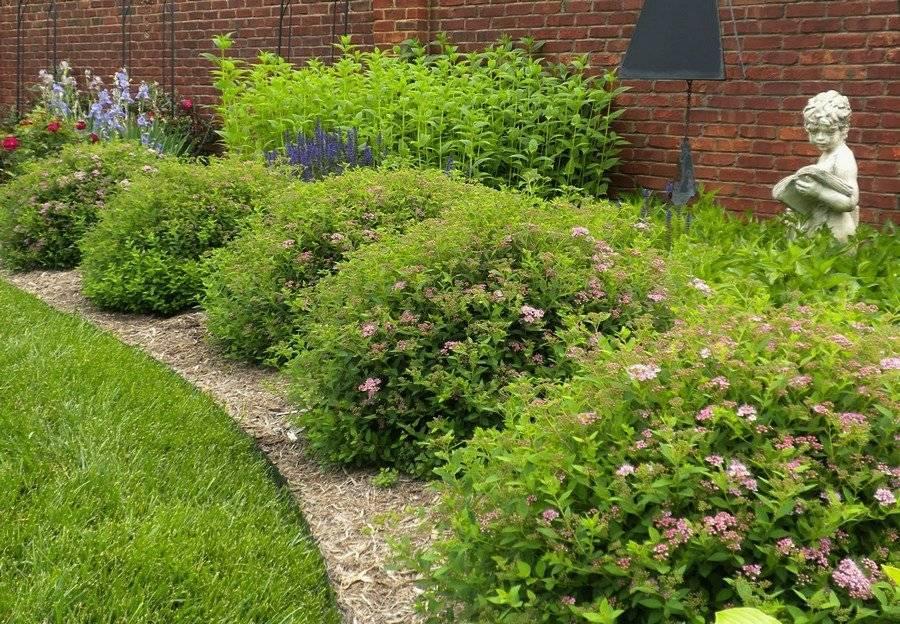 Лучшие кустарники цветущие все лето зимостойкие для участка.