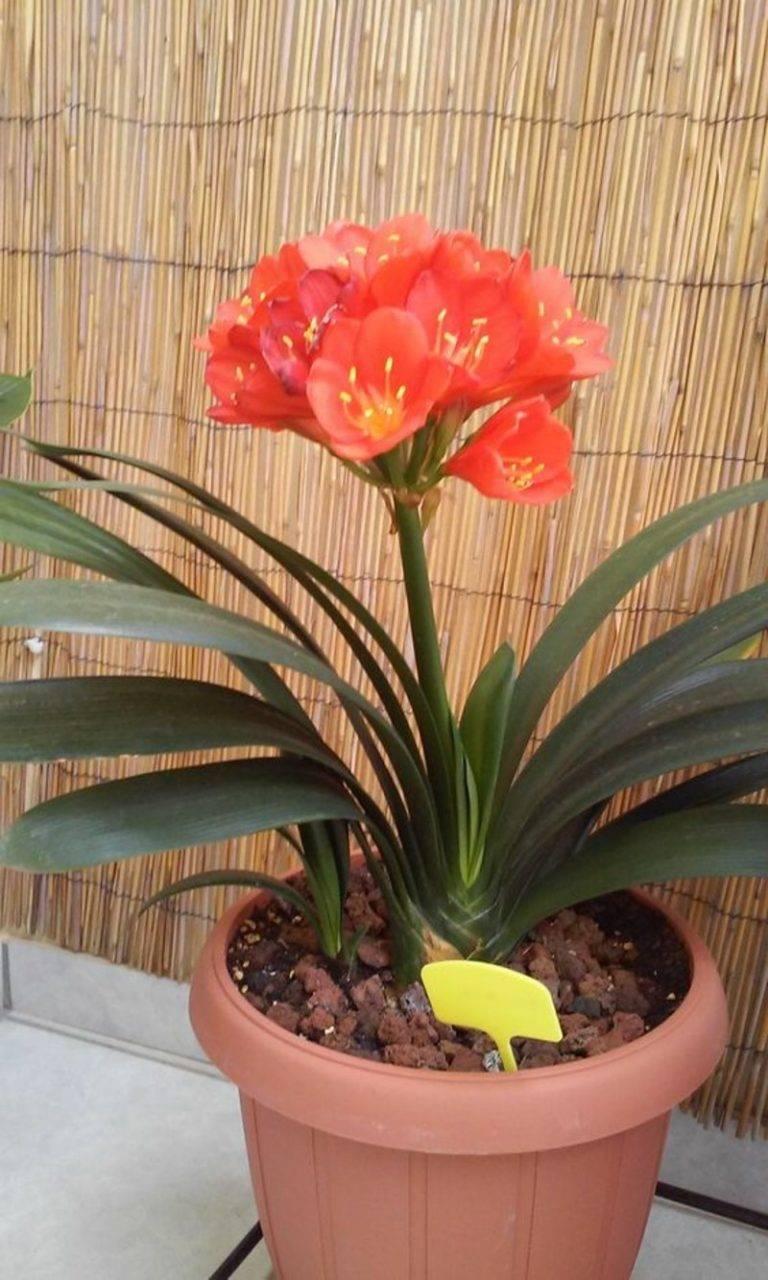 Кливия: уход в домашних условиях. комнатные растения