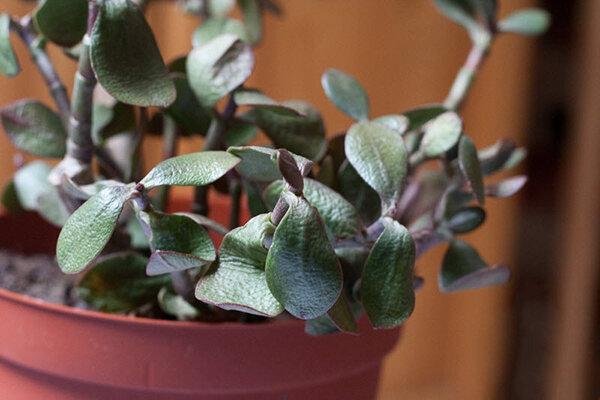 У денежного дерева (толстянки) осыпаются листья: что делать, если у цветка опадают листья зимой и по каким причинам он их сбрасывает? лечение болезней