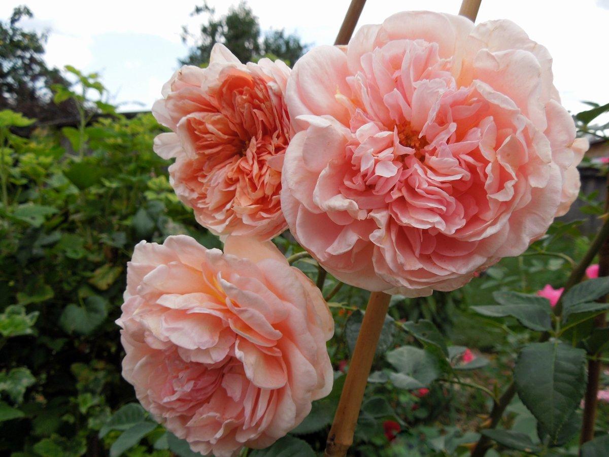 Роза абрахам дерби (английский сорт) - описание, условия выращивания