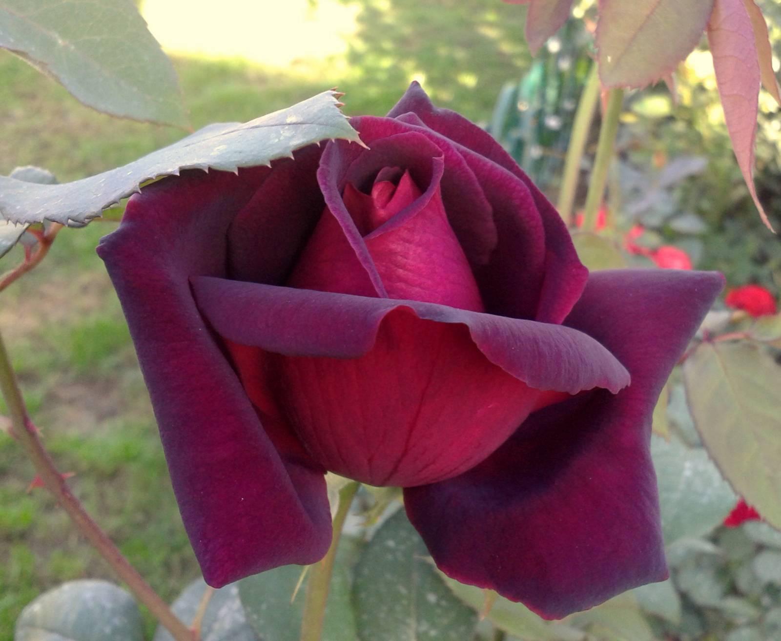 Выращивание спрей-розы файер флеш: как сажать компактный голландский кустарник