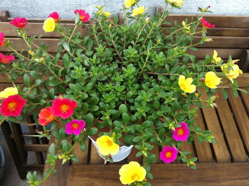 Портулак период цветения. портулак посадка и уход в открытом грунте