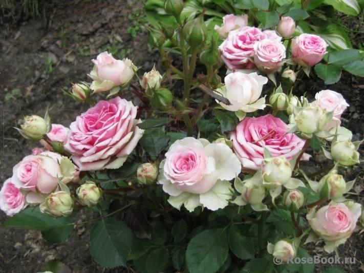 Роза мими эден (mimi eden) — характеристики сорта