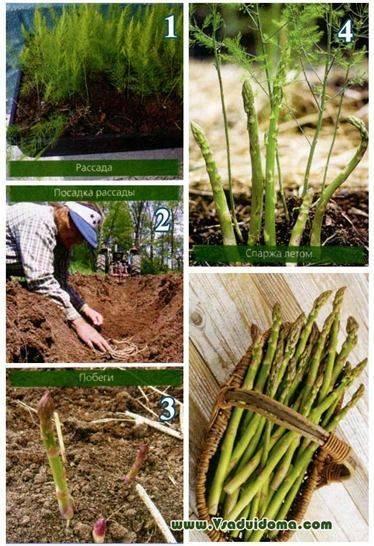 Выращивание спаржи на огороде: правильная посадка в открытый грунт и уход