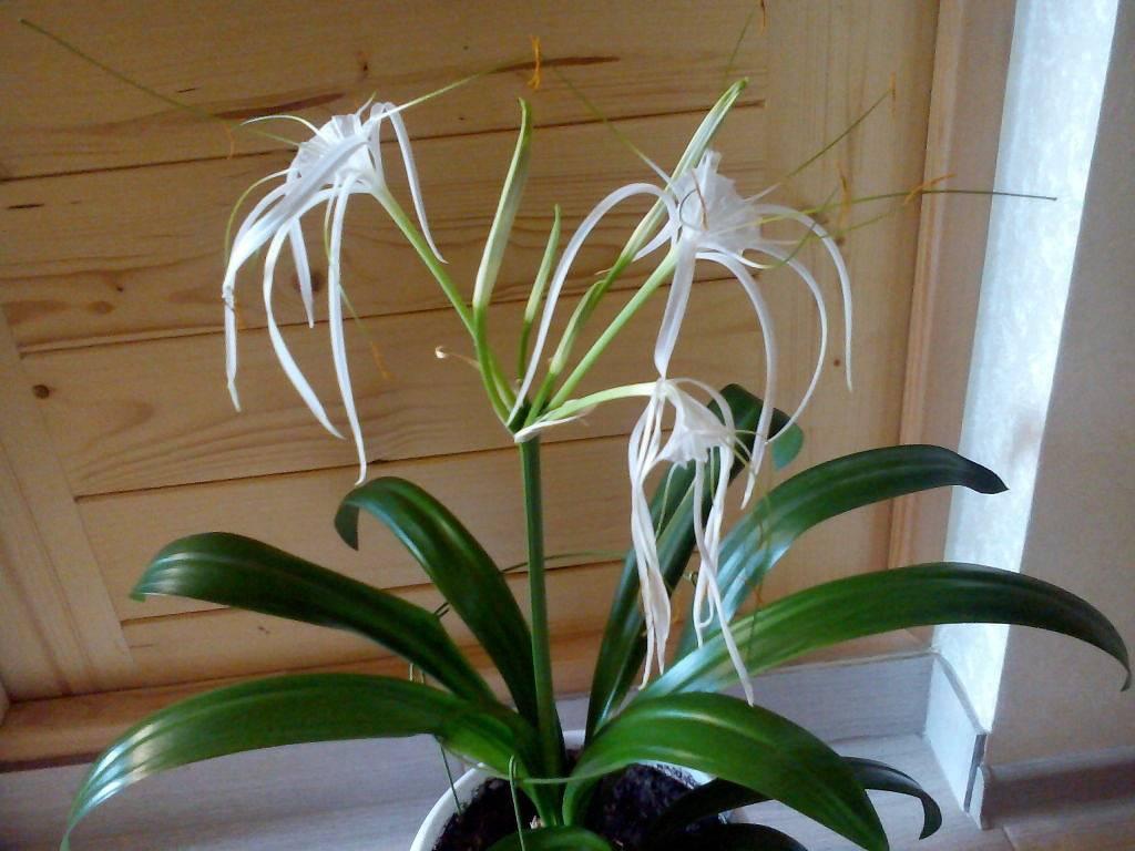 Гименокаллис (35 фото): уход за цветком в домашних условиях, виды карибский и фесталис, краткое описание внешнего вида