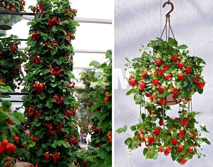Выращивание ампельной клубники – увлекательное занятие