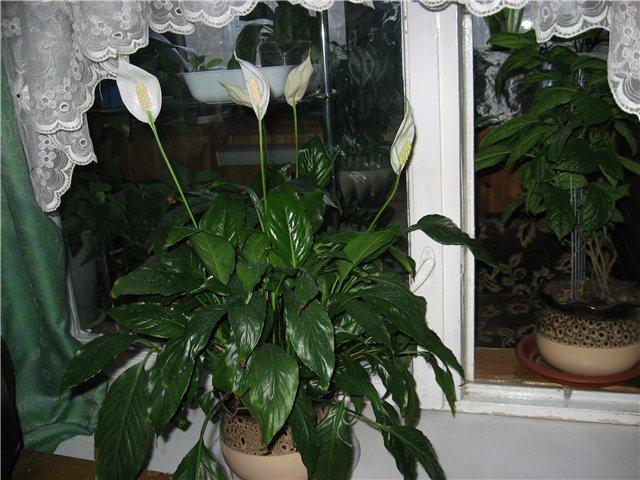 Спатифиллум — белый парус