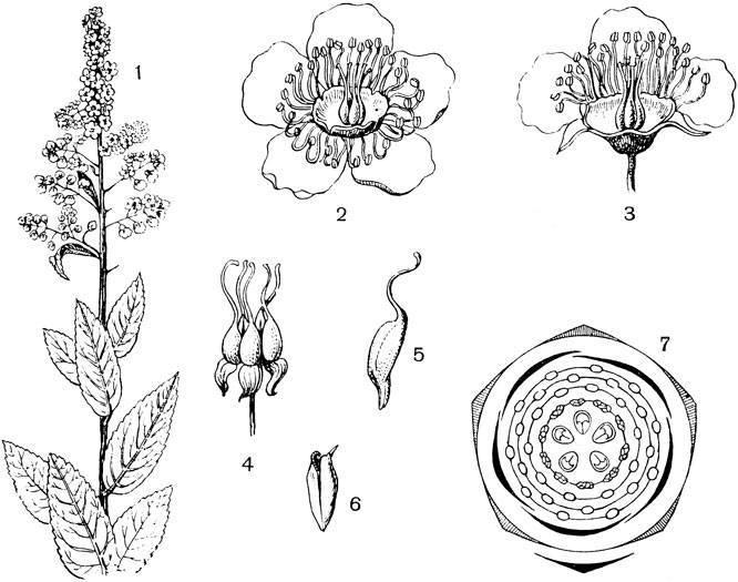 Крапива глухая — полезные свойства, описание