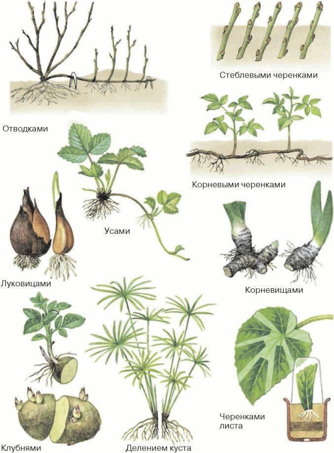 Очиток или седум видный: описание сорта, посадка и размножение черенками, уход и подготовка к зиме, фото