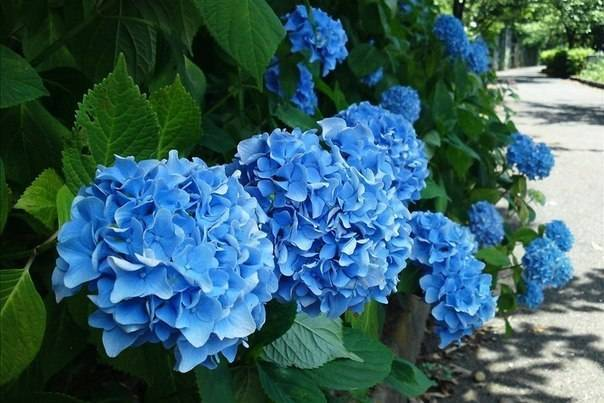 Как изменить цвет гортензии и сделать гортензию синей