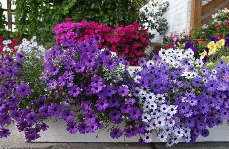 Разведение ипомеи многолетней, посадка и уход за растением