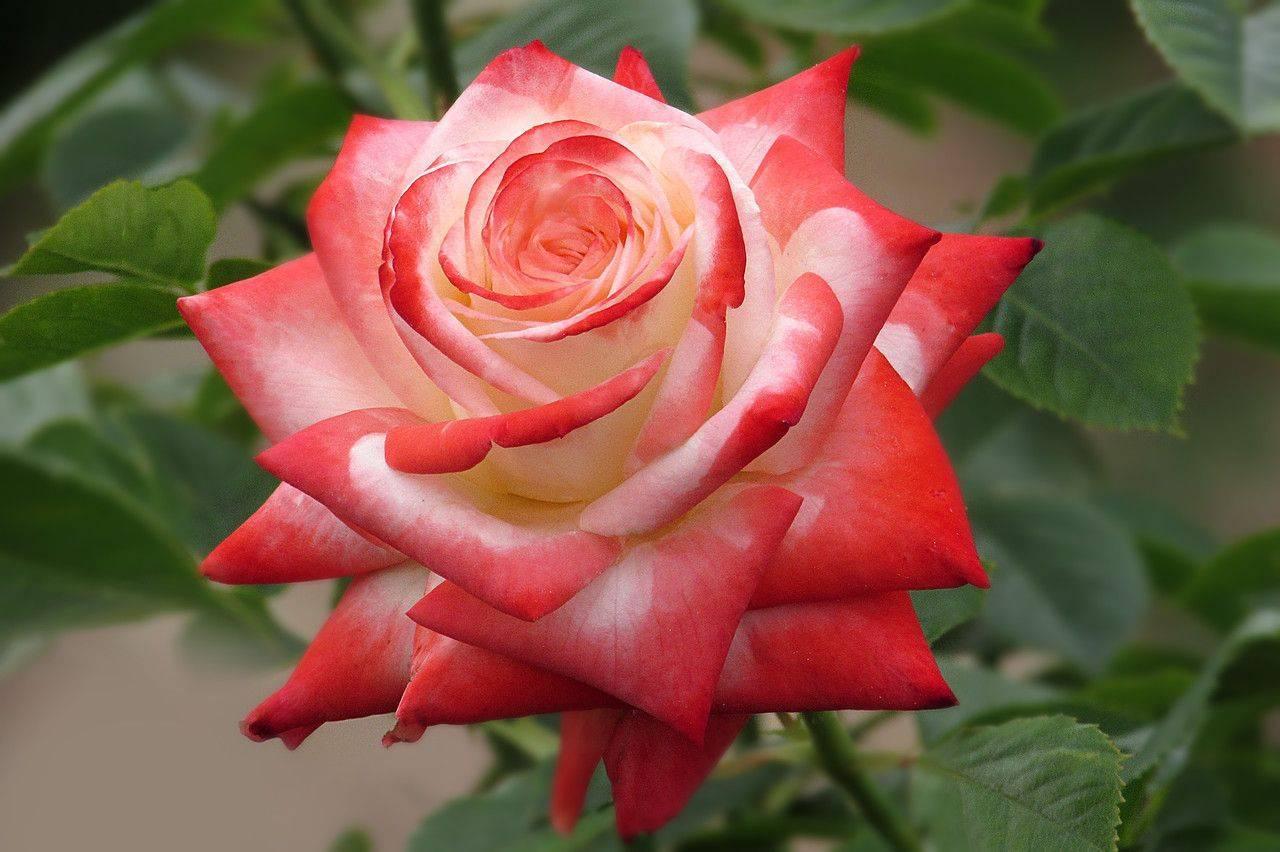 Роза чг верано — брызги лета с привкусом молодого вина