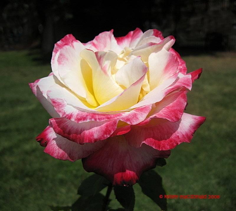 Украшение дачного участка роза дабл делайт