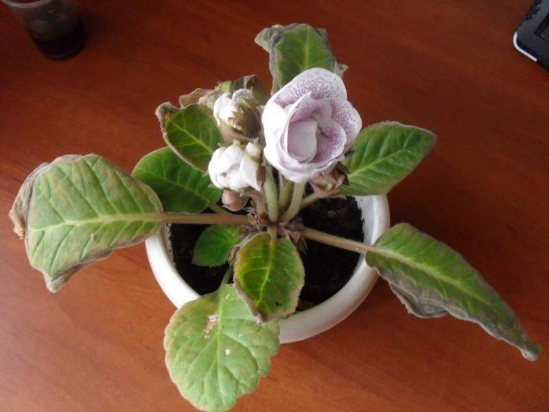 Края листьев спатифиллума сохнут и чернеют: причины потемнения кончиков, лечение