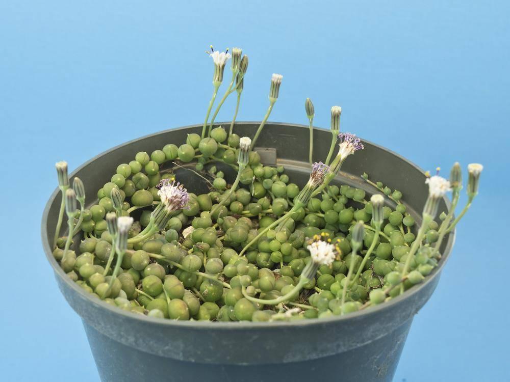 Крестовник роули: описание растения, уход и фото