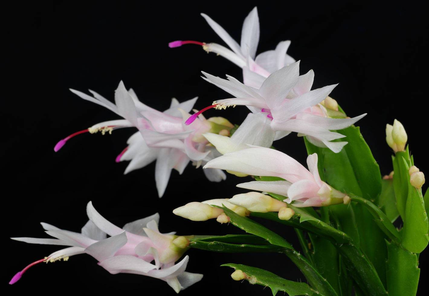 Условия содержания кактуса шлюмбергера, виды цветения и размножения
