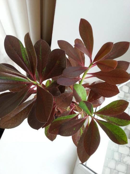 Араукария: уход в домашних условиях и основные сорта