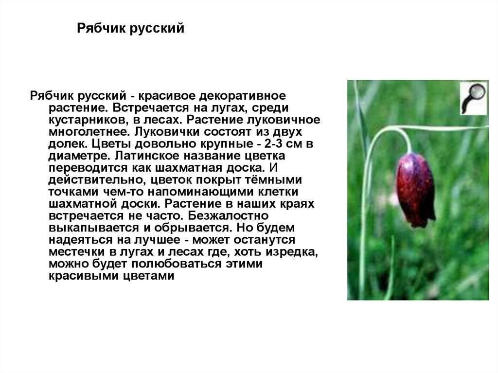 Рябчик птица. среда обитания и особенности рябчика | животный мир