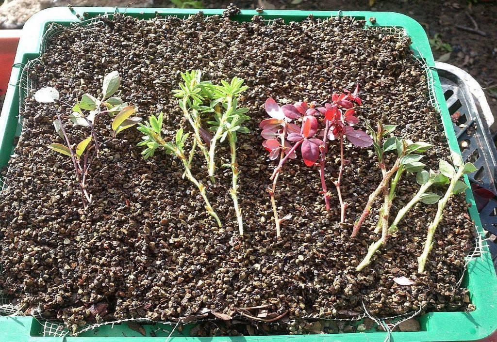 Посадка и выращивание барвинка в открытом грунте