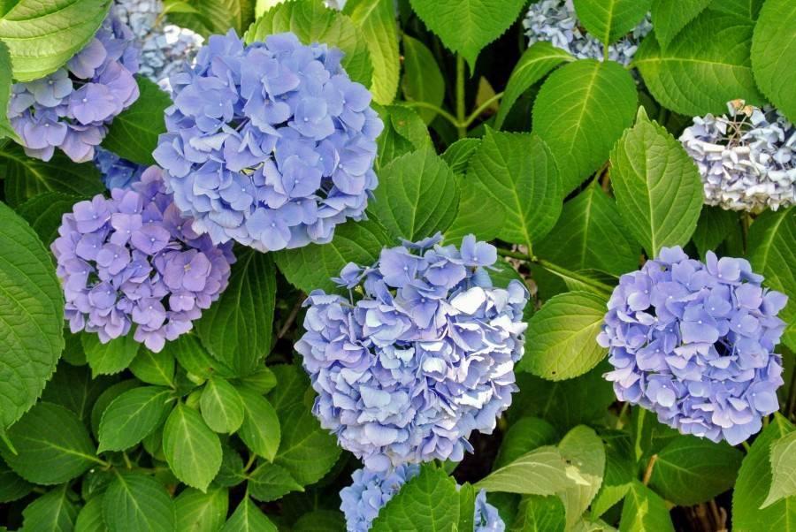Описание, посадка и уход за крупноцветковой гортензией