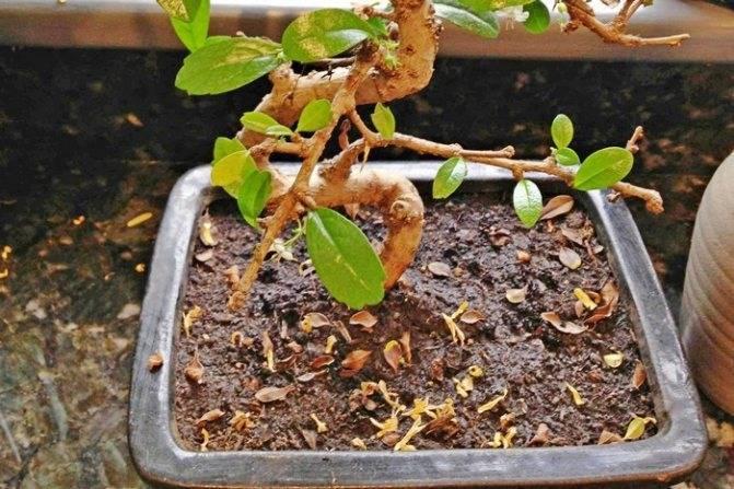 Эффектное комнатное растение — фикус «микрокарпа»