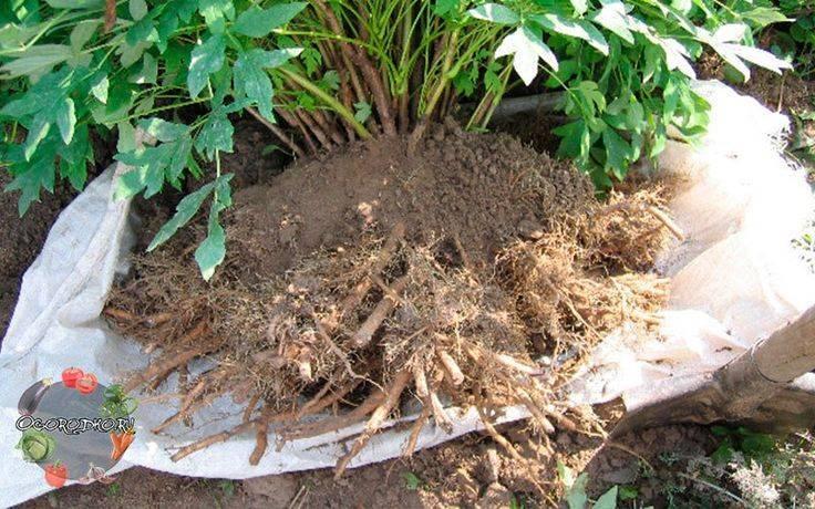 Древовидный пион: посадка и уход в подмосковье, обрезка после цветения