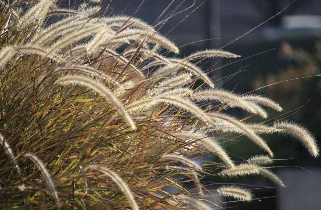 Пеннисетум лисохвостный (Pennisetum alopecuroides) — посадка и уход