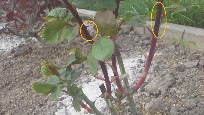 Как отличить розу от шиповника по листьям и другим признакам - общая информация - 2020