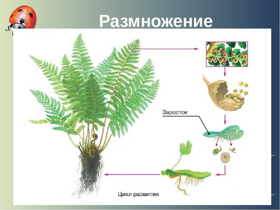 Размножение папоротника схема и описание. половое размножение спорами
