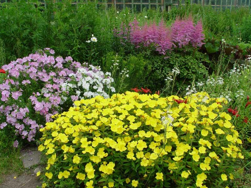 Выращивание энотеры многолетней: посадка, уход, описание и фото