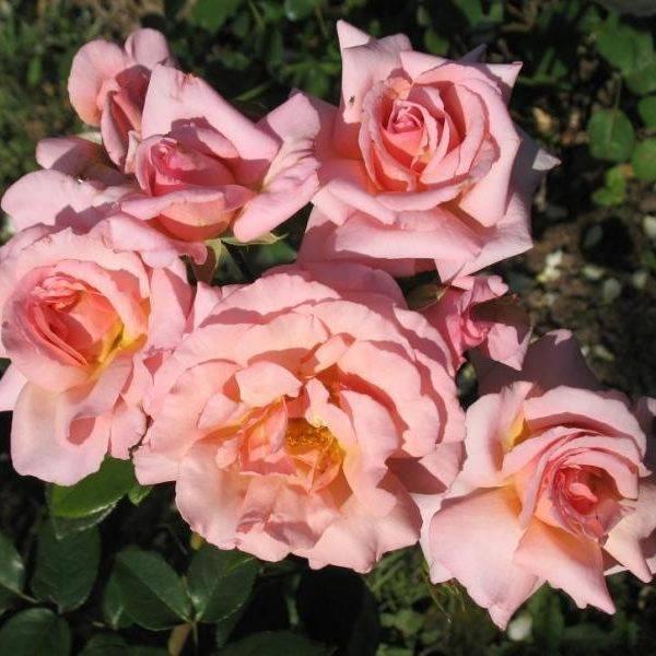 Гибридный сорт чайной розы черный принц: как выращивать плетистый цветок, уход