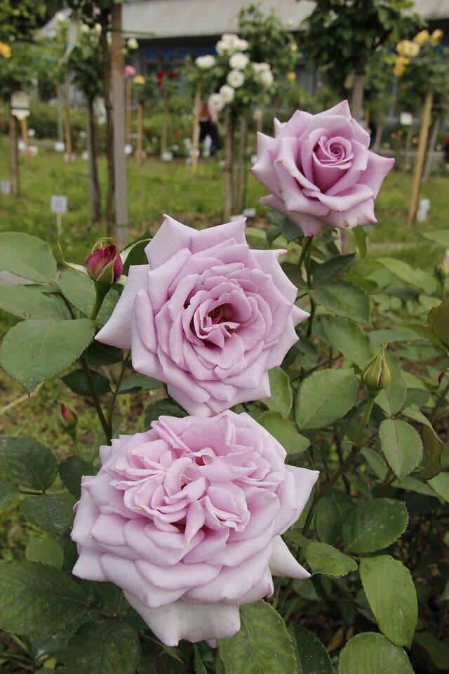 О розе рапсодия ин блю (rhapsody in blue): описание и характеристики