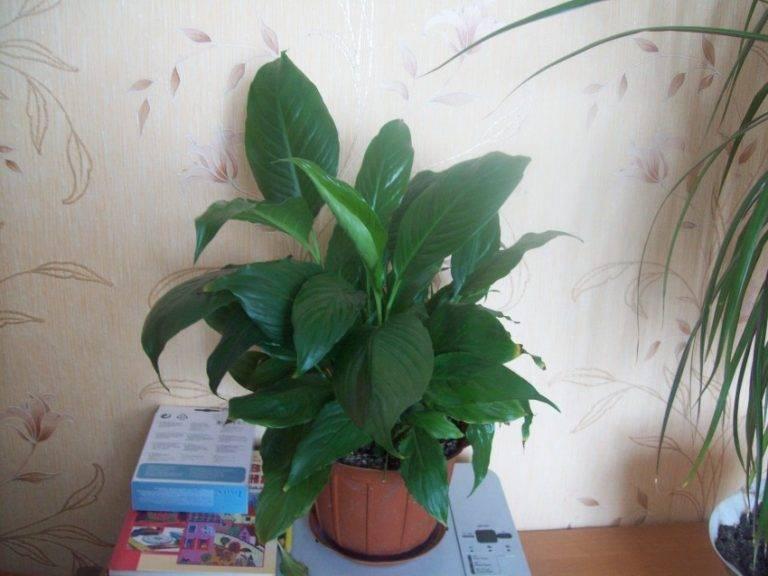Почему у спатифиллума зеленеют цветы — причины и решение проблемы