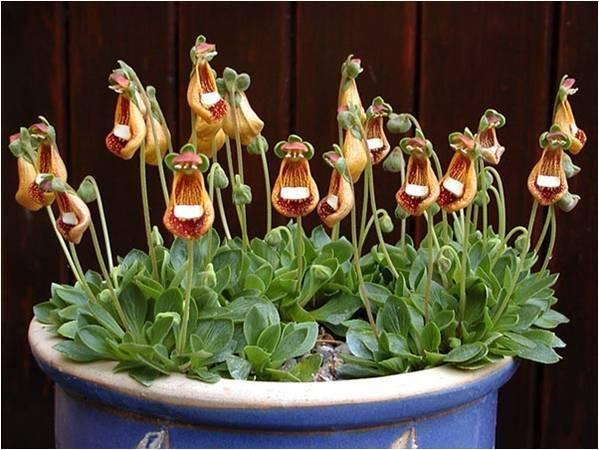 Цветок кальцеолярия, посадка и уход, фото