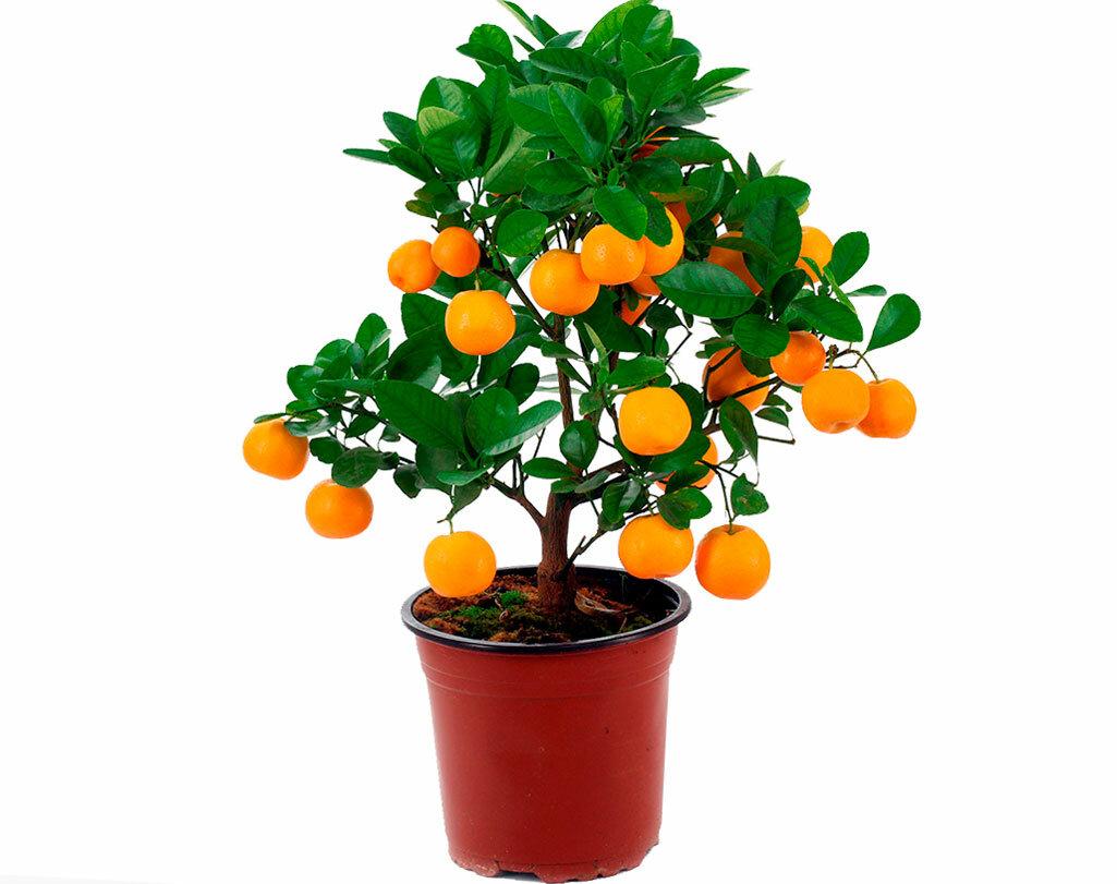 Цитрусовые растения в домашних условиях: виды, уход, фото цветов лимона