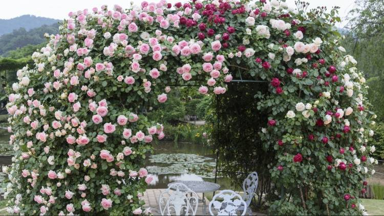 Почему розы не цветут и как помочь растениям, отзывы
