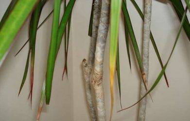 Способы размножения юкки в домашних условиях: черенками, отрезками стебля