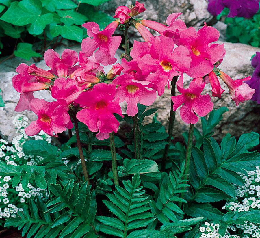 Инкарвиллея делавея (incarvillea delavayi) — выращивание из семян