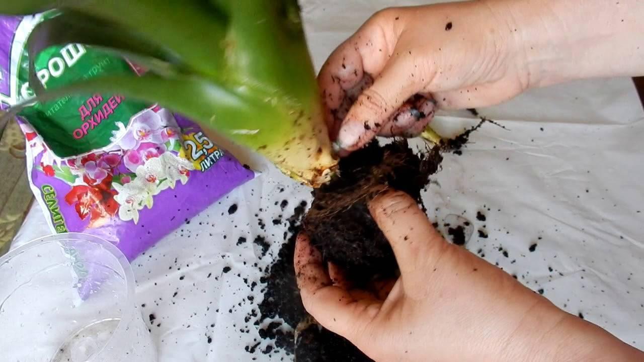 Гузмания: размножение в домашних условиях