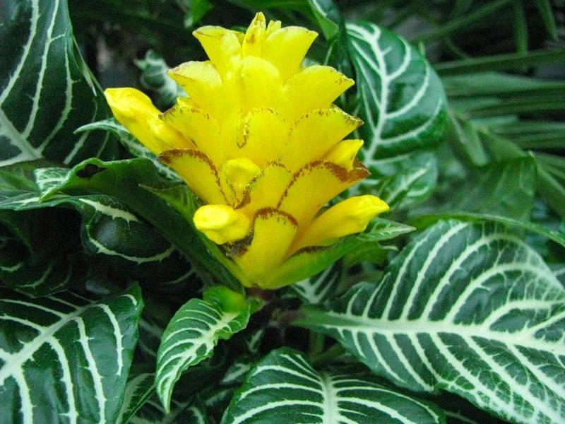 Комнатное растение афеландра оттопыренная, или скуарроса: что это такое, каковы особенности данного вида, как правильно сажать, размножать и ухаживать?