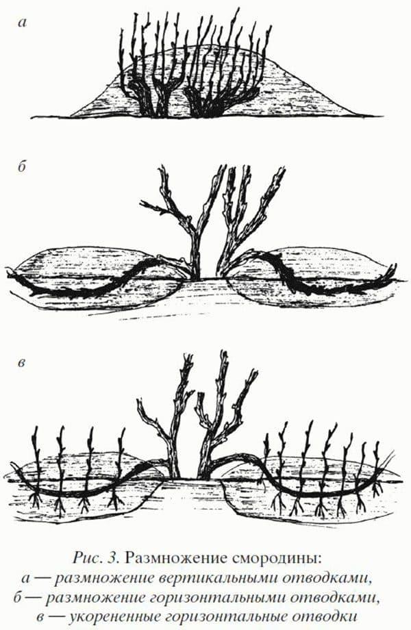 Размножение крыжовника на даче