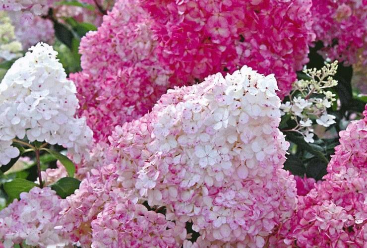 Гортензия ванила фрейзи: посадка и уход, особенности выращивания кустарника